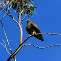 A massive red-tailed hawk (Buteo jamaicensis).- Napa River Bay Trail + Glass Beach