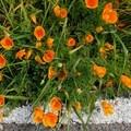 California poppies (Eschscholzia californica) along the road.- Steep Ravine Climb