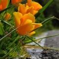 California poppies (Eschscholzia californica).- Steep Ravine Climb