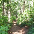 The Lost Lake Butte Trail leads through a Douglas fir forest with plenty of rhododendrons.- Lost Lake Butte