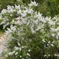 Deer brush (Ceanothus integerrimus) in bloom.- Klickitat Trail, Lyle Trailhead