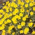 Cusick's sunflower (Helianthus cusickii).- Klickitat Trail, Lyle Trailhead
