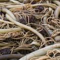 Bull Kelp (Nereocystis luetkeana).- Cooks Beach via Bonham Trail