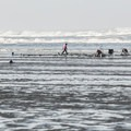 Commercial razor clam diggers from the Quinault Tribe on Pacific Beach.- Pacific Beach