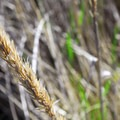 American beachgrass (Ammophila breviligulata).- Griffiths-Priday State Park