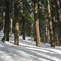Conifer forest below the Keechelus Ridge crest.- Keechelus Ridge