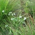 Three cornered leek (Allium triquetrum).- Mount Davidson