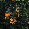 Fremont's mahonia (Berberis fremontii).- Mount Davidson