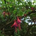 Fuschia (Fuchsia magellanica).- Mount Davidson