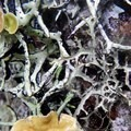 Lichens of several varieties grow on the evergreen trees.- Eula Ridge Hike
