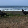 Crows at Sharp Park Beach.- Sharp Park Beach + Pacifica Pier
