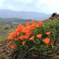 California poppies (Eschscholzia californica) at Mori Point.- Mori Point