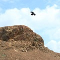 Crow at Mori Point.- Mori Point