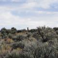 North American antelope (Antilocapra americana).- Chickahominy Reservoir
