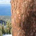Mature mountain hemlock (Tsuga mertensiana) near the summit of Jake's.- Jake's Peak