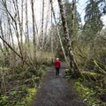 The 0.3-mile trail to the Quinault Giant Sitka Spruce.- Quinault Giant Sitka Spruce