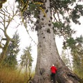 Quinault Giant Sitka Spruce (Picea sitchensis).- Quinault Giant Sitka Spruce