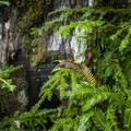 Deer fern (Blechnum spicant) and western hemlock (Tsuga heterophylla) in the Quinault National Trail System.- Quinault National Recreation Trail System, Gatton Creek Falls Loop