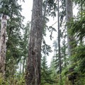 Giant Douglas firs (Pseudotsuga menziesii) in the Quinault National Trail System.- Quinault National Recreation Trail System, Gatton Creek Falls Loop