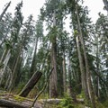 Old-growth Douglas firs and western hemlocks in the Quinault National Trail System.- Quinault National Recreation Trail System, Gatton Creek Falls Loop