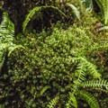 Various mosses and deer fern (Blechnum spicant) along the Quinault Rain Forest Nature Trail.- Quinault Rain Forest Nature Trail Loop