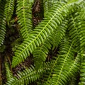 Deer fern (Blechnum spicant) on the Quinault Rain Forest Nature Trail.- Quinault Rain Forest Nature Trail Loop