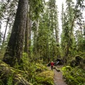 Quinault Rain Forest Nature Trail.- Quinault Rain Forest Nature Trail Loop