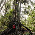 Big Cedar Tree with a western hemlock hitchhiker.- Kalaloch Big Cedar Tree + Grove