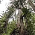A cousin of the Big Cedar Tree in an adjacent grove.- Kalaloch Big Cedar Tree + Grove