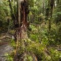 Big Cedar Tree, split from a March 8th, 2014 storm.- Kalaloch Big Cedar Tree + Grove