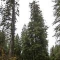 Hoh Rain Forest Big Sitka Spruce.- Hoh Rain Forest's Big Sitka Spruce