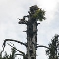 A bald eagle nest at the top of Queets spruce (Picea sitchensis).- Queets Spruce