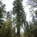 Queets spruce (Picea sitchensis).- Queets Spruce