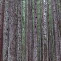 Hemlock forest.- Monte Cristo Ghost Town