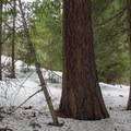Ponderosa pines.- Chiwaukum Creek