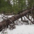 Downed pine tree.- Chiwaukum Creek