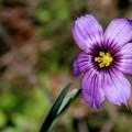 Idaho blue-eyed grass (Sisyrinchium idahoense).- Olompali State Historic Park