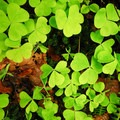 Oregon oxalis (Oxalis Oregana) on the Quinault National Recreation Trail System.- Quinault National Recreation Trail System, Cedar Loop