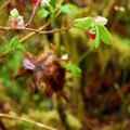 Oval-leaf huckleberry (Vaccinium ovalifolium) on the Quinault National Recreation Trail System.- Quinault National Recreation Trail System, Cedar Loop