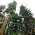 Old-growth forest canopy in Willaby Campground.- Lake Quinault, Willaby Campground