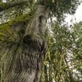 Giant western red cedar (Thuja plicata) in Willaby Campground.- Lake Quinault, Willaby Campground