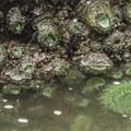 Giant green anemone (Anthopleura xanthogrammica) in Kalaloch Beach 4 tide pools.- Kalaloch Beach 4