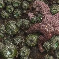 Giant green anemone (Anthopleura xanthogrammica) and sea stars (Pisaster ochraceus) in Kalaloch Beach 4 tide pools.- Kalaloch Beach 4