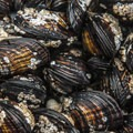 California mussels (Mytilus californianus) in Kalaloch Beach 4 tide pools. - Kalaloch Beach 4