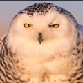 Snowy owl (Bubo scandiacus).- Damon Point Hike