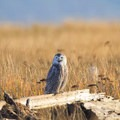 Snowy owls (Bubo scandiacus).- Damon Point Hike