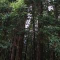 Redwoods on the Chickadee Trail.- Huddart Park