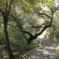 Huddart Park trails.- Huddart Park