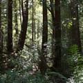 Big Basin State Park.- Big Basin Redwoods State Park