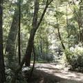 Big Basin Redwoods State Park.- Big Basin Redwoods State Park